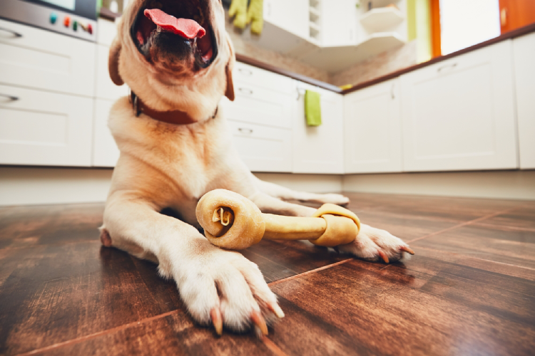 Cheerful labrador retriever playing with bone for dental heath in home kitchen